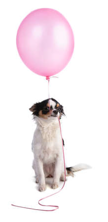 Chihuahua with a pink balloon on a white background