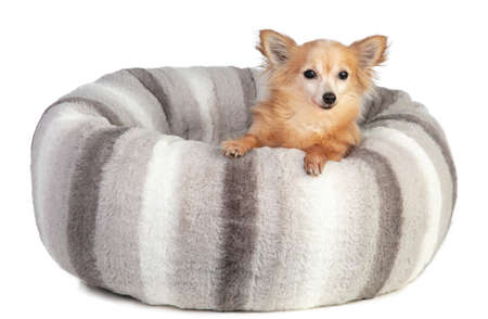 Chihuahua in a large grey and soft cushion on a white background