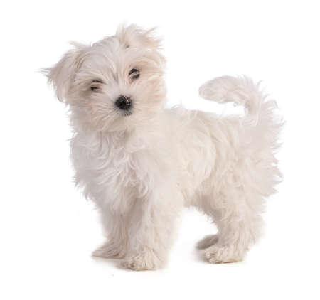 Maltese bichon puppy standing on white background Standard-Bild