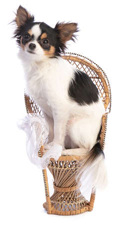 Chihuahua on a wicker chair on a white background