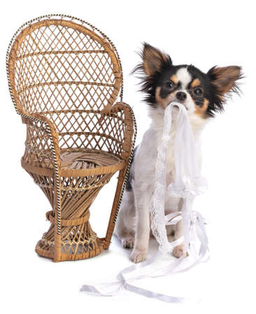 Chihuahua next to a wicker chair on a white background Stock Photo