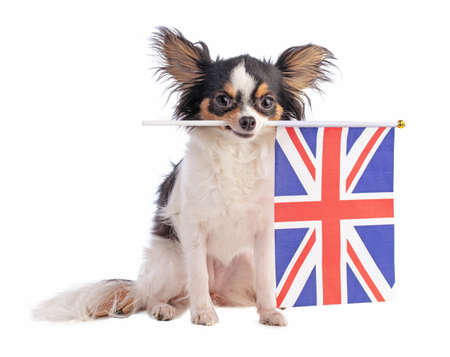 Chihuahua with a English flag on a white background Stock Photo