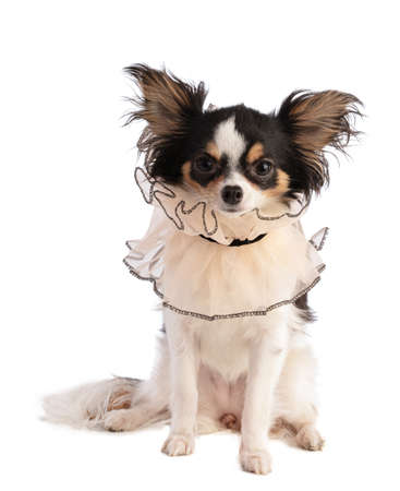 Chihuahua with a lace collar on a white background