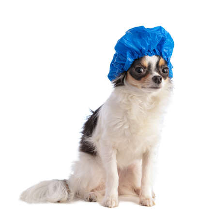 Chihuahua with blue bathing cap on white background 스톡 콘텐츠