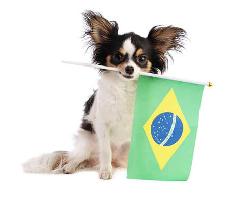 Chihuahua with a Brazilian flag on a white background