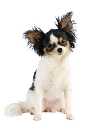 chihuahua with eye problem on white background 스톡 콘텐츠