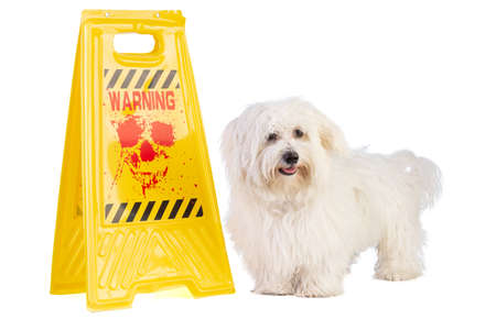 Maltese Bichon with a yellow Hallowenn sign on a white background