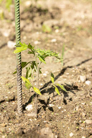 Young tomato plant with a stake in a garden