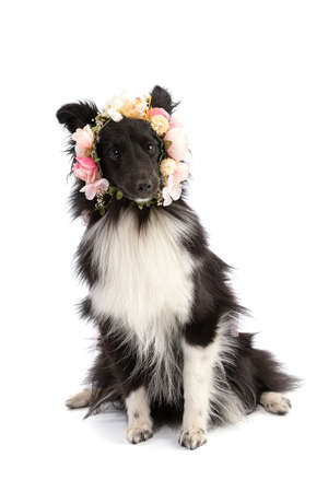 Black and white Shetland Sheepdog with flowers on a white background Archivio Fotografico