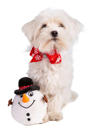 maltese bichon with a bow tie at Christmas on white background Stock Photo
