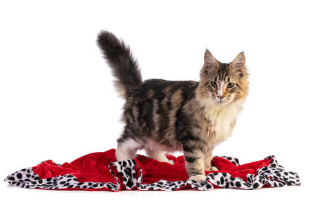 Young Maine coon with a red Christmas cape on a white background Stock Photo