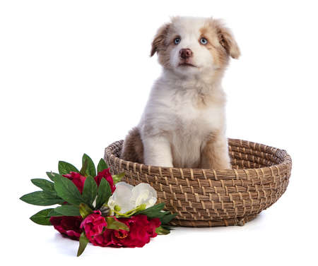 Australian Shepherd Puppy with flowers in basket on white background