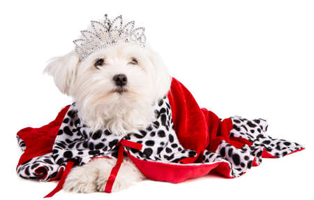 Maltese bichon with a queen crown with christmas decor on white background