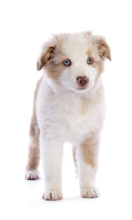Standing Australian Shepherd Puppy looking ahead on white background