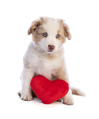 Australian Shepherd Puppy with a red heart for Valentine's Day on white background