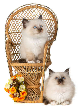 Two Sacred kittens from Burma with a chair and orange flowers on white background