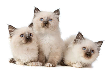 Group of three kittens Sacred of Burma on white background