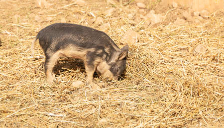 Wooly baby pigs in a farm Archivio Fotografico