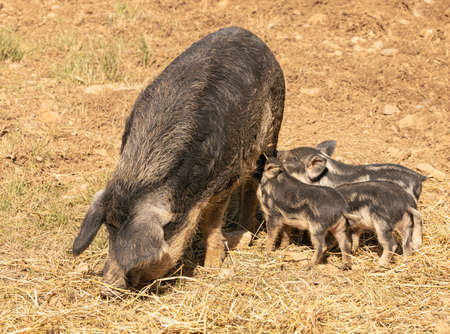 Sow, Woolly Pig, with her babies on the loose