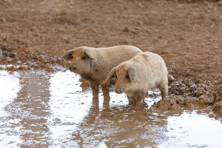 Wooly pig babies in mud on a farm Archivio Fotografico
