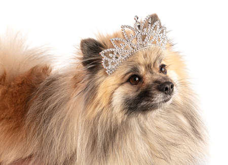 Brown Pomeranian Sheepdog with a princess crownon a white background
