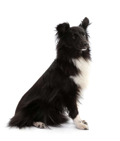 Black and white Shetland Sheepdog seated on a white background
