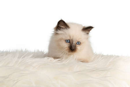 Sacred kitten of Burma on a white carpet of hairs on white background