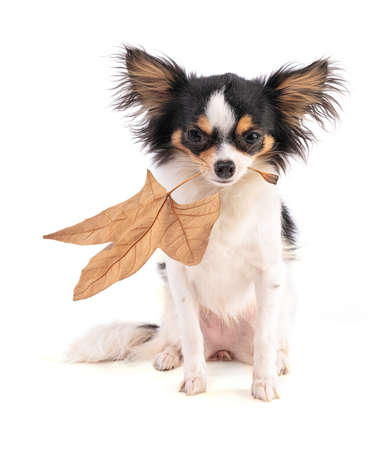 Chihuahua with a sheet on white background