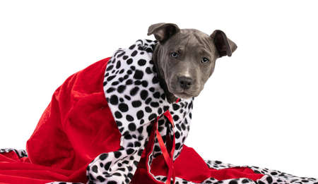 Portrait of a small Staffordshire Terrier puppy with a red Christmas cape on white background Banco de Imagens