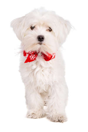 maltese bichon with a red bow tie during the Christmas period on white background Stock Photo