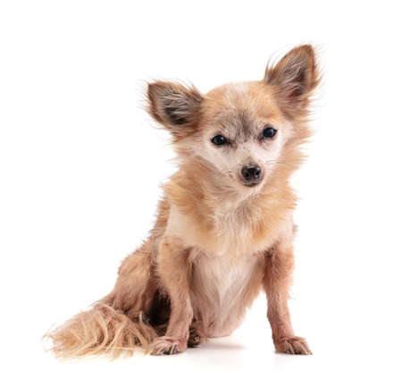 Sitting long-haired Chihuahua looking straight ahead on a white background Banque d'images