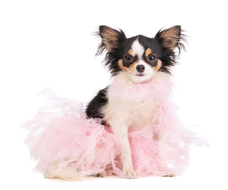 chihuahua dressed with a pink dancer tutu on white background