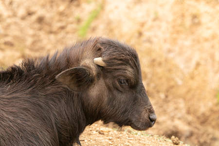 Asian baby buffalo outdoors