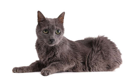 Vintage gray cat 19 years old on white background