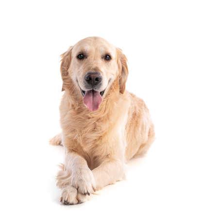 Golden retriever dog on white background