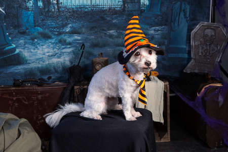 Coton de Tulear in a Halloween night scene with a hat