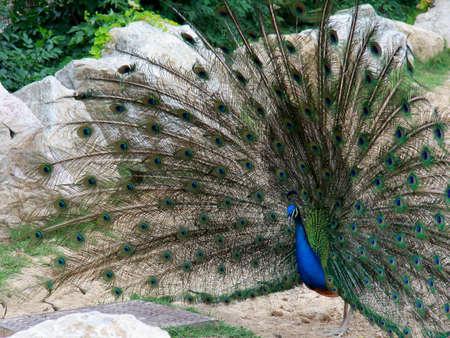 peacock wheel: The wheel Stock Photo