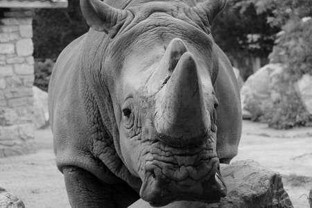 bn: Rinoceronte Foto de archivo