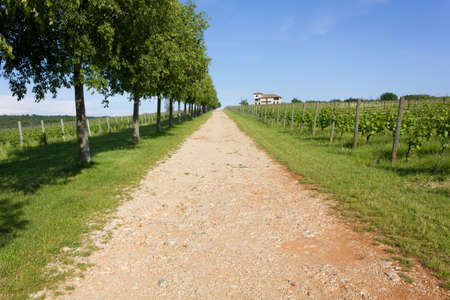 treelined: Tree-lined Country Lane beside a Vineyard and a Farm Building