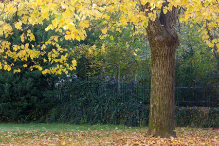 fallen fruit: Under the linden tree in autumn in the garden