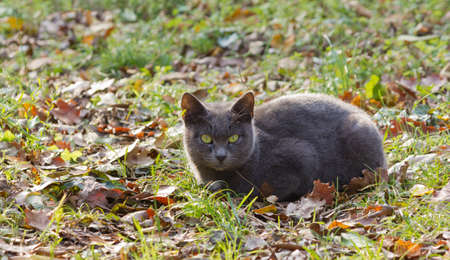 Gray cat on the grass among fallen leaves in an autumn landscape