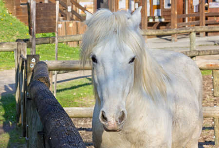 Close-up of a white Camargue horse inside the corral