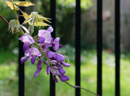Detail of the beautiful delicate purple flowers of wisteria, against a metal fence in a natural setting Reklamní fotografie - 123097405