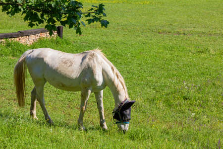 Grazing white horse in a field of an equestrian center in springtime