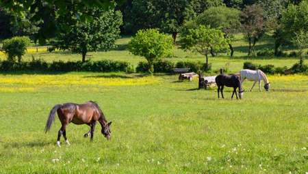 Grazing horses in a field at an equestrian center in springtime