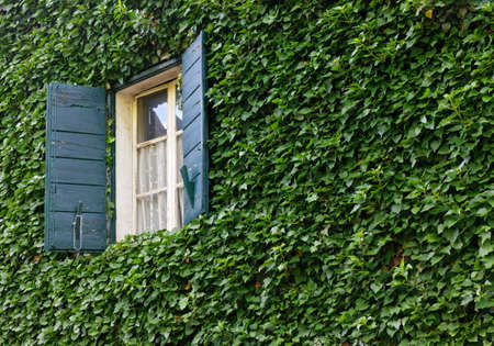 Classic window with shutters opens on an ivy covered exterior wall of a historic building Reklamní fotografie - 125550334