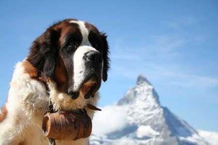 백그라운드에서 마운트 호른와 체르마트, 스위스에서 세인트 버나드 구조 개