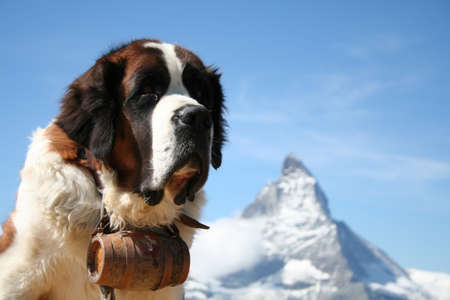 St. Bernard rescue dog in Zermatt, Switzerland, with Mount Matterhorn in the background
