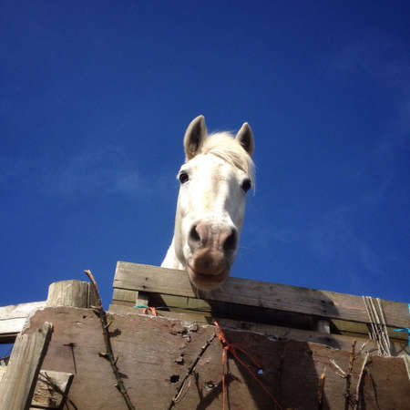fence: White horse peering over a fence Stock Photo