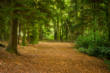 dead leaves: Path, brown with dead leaves, through a deciduous forest Stock Photo